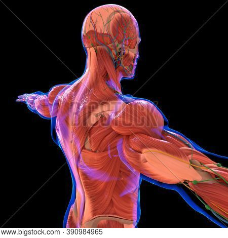 Human Muscle Anatomy For Medical Concept