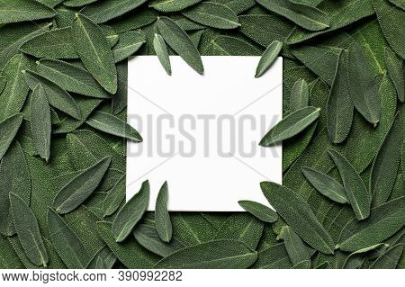 Fresh Green Sage Leaves And White Square Blank Sheet Of Paper Top View. Sage Velvet Leaf Texture, Mo