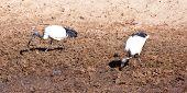 Sacred Ibis on the banks of a river. Serengeti National Park Tanzania poster
