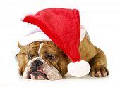 santa dog - english bulldog wearing santa hat laying down on white background poster