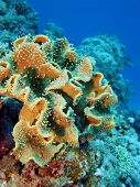 coral reef with great soft coral on the bottom of red sea - underwater photo poster