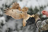 Landing tawny owl on falconry's arm with glove poster