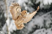 Landing tawny owl tawny owl in winter time whne is snowing poster