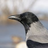 A close-up shot of hooded crow (Corvus cornix) in profile - square image poster