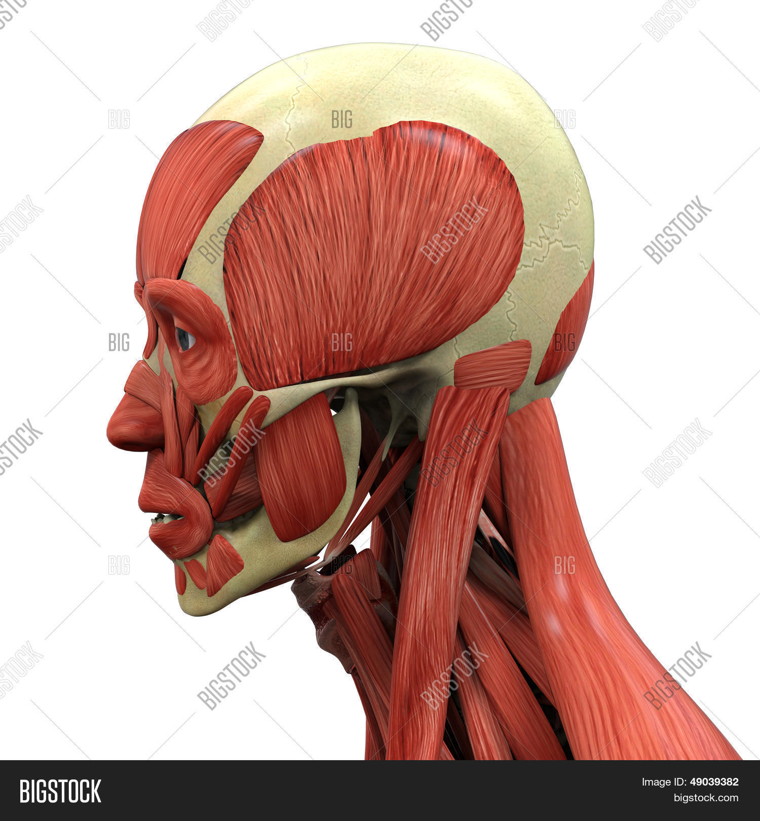 Human Face Anatomy Image Photo Free Trial Bigstock