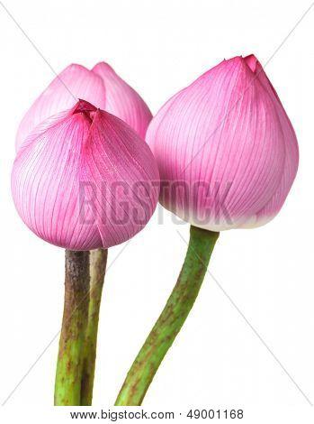 Bouquet lotus buds