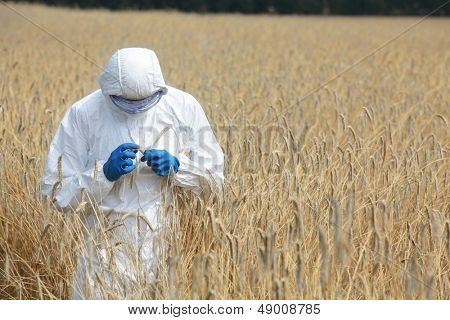 biotechnology engineer on field examining ripe ears of grain