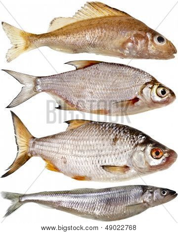 Collection set of different popular fresh river fish roach isolated on white background
