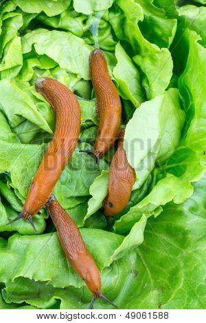 a slug in the garden eating a lettuce leaf. schneckenplage in the garden poster