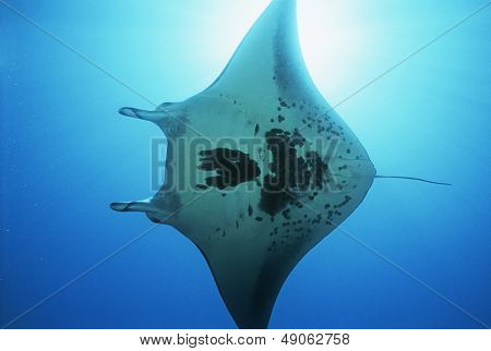 Raja Ampat Indonesia Pacific Ocean manta ray (Manta birostris) view from below