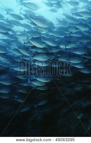 Raja Ampat Indonesia Pacific Ocean School of elongate surgeonfish (Acanthurus mata) feeding on plankton