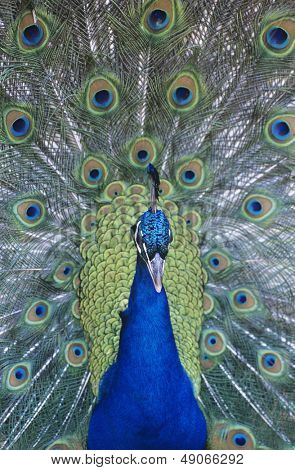 Peacock displaying feathers close-up