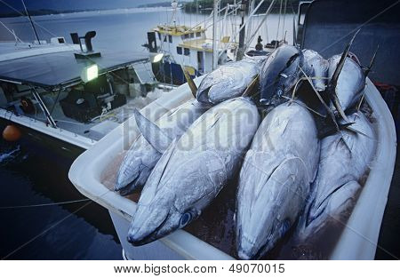 Tuna fish in container on fishing boat dawn Cairns Australia