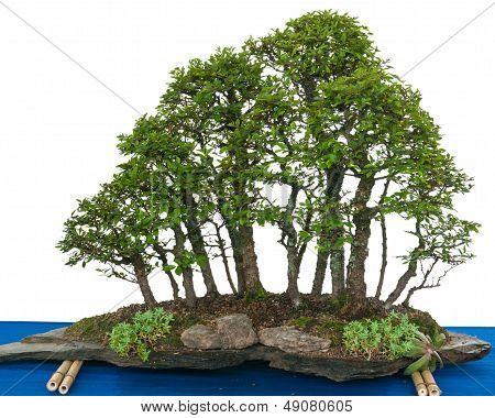 Forest With Elm Bonsai Trees (zelkova Nire)