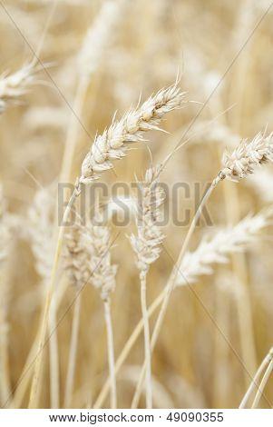 Wheat (triticum) Crop Ready For Harvest.