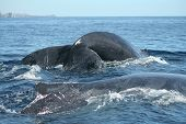 Two humpback whales preparing to dive of the coast of Cabo San Lucas Mexico on February 15 2009. poster