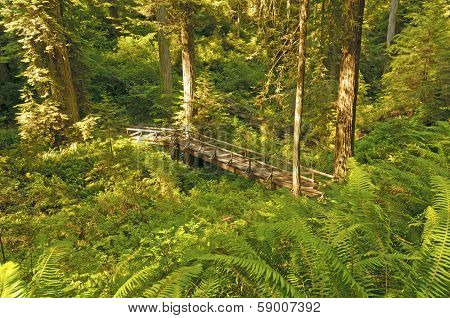 Hidden Bridge In The Redwoods
