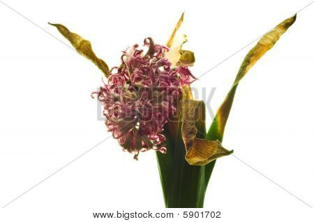 Wilted hyacinth