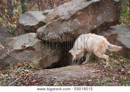 Blonde Wolf (Canis lupus) Checks out Den - captive animal poster