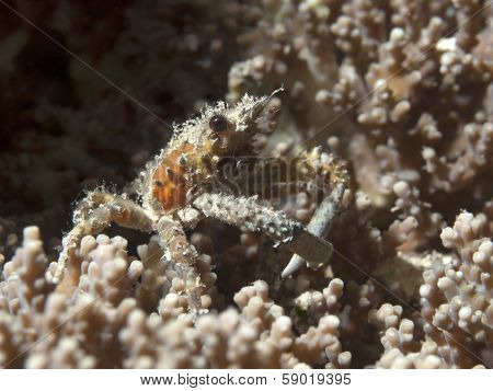 Ornamental Spider Crab