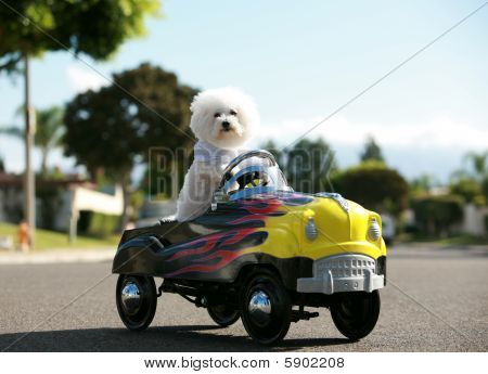 fifi the bichon frise out for a car ride