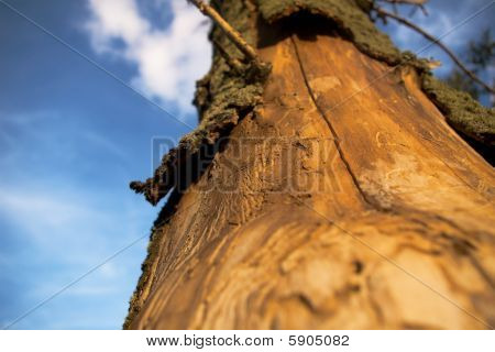 tree killed by bark beetles