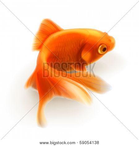 Goldfish, photo realistic vector illustration