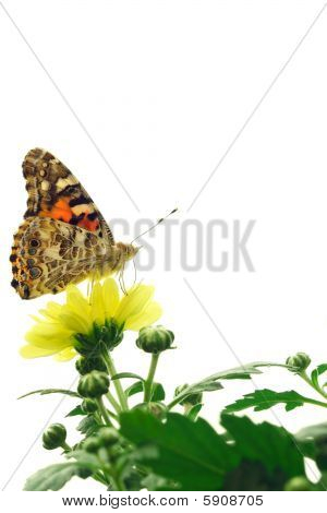Painted lady butterfly perched upon a yellow flower. poster