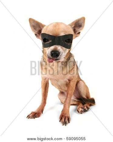 a cute chihuahua with a black mask on