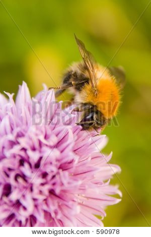 Honey Bee On Flowering Chive