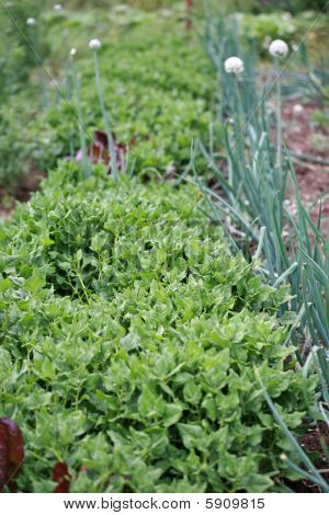 Spinach And Onion Plants
