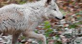 Blonde Wolf (Canis lupus) Runs Right - motion blur poster