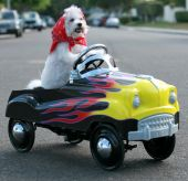 Fifi the World Famous Bichon Frise Dog enjoys a day out riding around in her Pedal Car poster