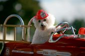 Fifi the World Famous Bichon Frise Dog races the scene of a cat caught in a tree in her fire truck pedal car! poster