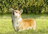 A young healthy beautiful red sable and white Welsh Corgi Pembroke dog with a docked tail standing on the grass. The Welsh Corgi has short legs long body big erect ears and is a herding breed. poster