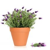 Lavender herb plant in flower growing in a terracotta pot with flower sprig over white background. poster