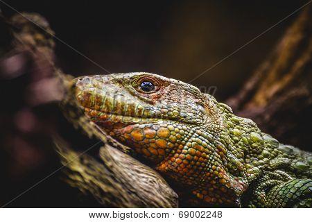 reptile, scaly lizard skin resting in the sun poster