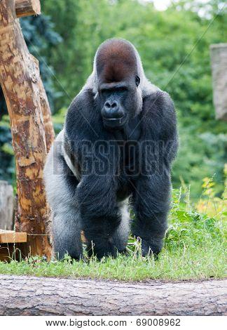 Male Silver Gorilla