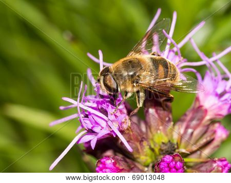 Bee On Top Of Pink Flower