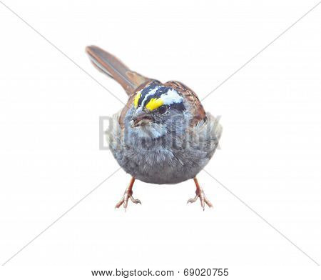 White Throated Sparrow isolated