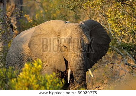 African elephant (Loxodonta africana) with large flapping ears, Sabie-Sand nature reserve, South Africa