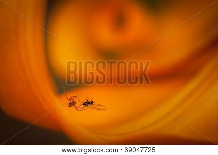 Spider catching fly