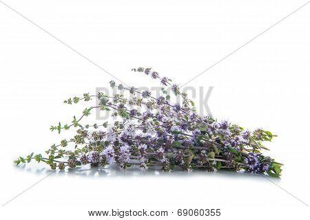 Penniroyal Or Mentha Pulegium Herbs Isolated On White