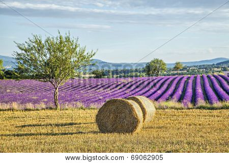 Lavander Fields With Hay Rolls On The Front View