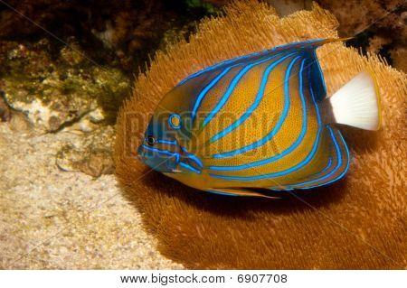 Bluering Angelfish In Aquarium