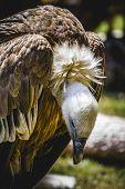 scavenger vulture resting on a branch poster