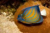 Bluering King Angelfish (Pomacanthus annularis) in Aquarium poster