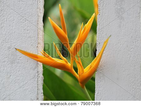 Yellow Heliconia psittacorum ( Heliconia spathocircinata ) [Golden Torch] flower plant standing out the wall poster