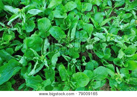 Green choy sum in growth at vegetable garden poster