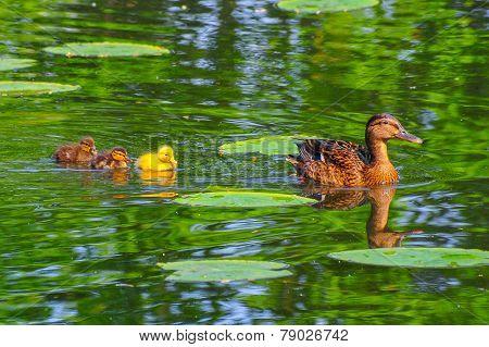 Duck Babies In Breeding Season